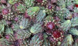 Harvesting Cholla: The Pleasures of Intangible Heritage